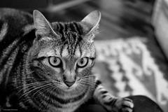 DSCF2777 (gRom62) Tags: blackandwhite cats pets ngc e bianco nero gatti animali acros animalidomestici