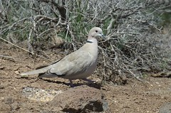 Eurasian Collared Dove (Streptopelia decaocto) DDZ_3791 (NDomer73) Tags: bird dove april sheldon collareddove eurasiancollareddove 2016 sheldonnationalwildliferefuge sheldonnwr 28april2016