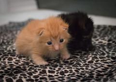 IMG_9451 (jaglazier) Tags: usa cats playing cute animals babies unitedstates tiger may indiana kittens siblings bloomington mammals blackie 2016 52416 copyright2016jamesaglazierandjamesaferguson