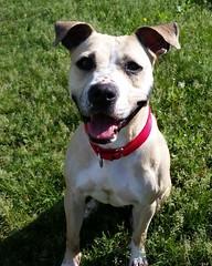 Tia Maria (DDA1) Tags: pet adopt adoption adoptable dogears pitbullmix adoptioncenter adoptionshelter saveapetilorg