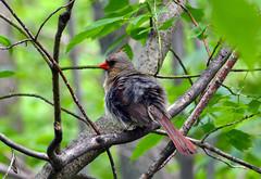 Northern Cardinal (female) (av8s) Tags: ohio nature birds photography nikon cardinal wildlife sigma oh songbirds northerncardinal perchingbirds mageemarsh d7100 120400mm