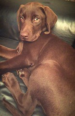 Beautiful chocolate Labrador (hannahwiltshire) Tags: dogs woof beautiful labrador chocolate canine relaxed chocolatelabrador animalpicture