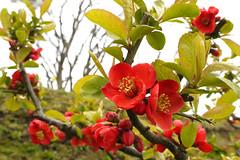 Japanese Quince, Gorykaku, Hakodate (, , ) (yotsub4) Tags: japan spring hokkaido   hakodate japanesequince  quince  goryokaku    goryokakukoen goryokakupark