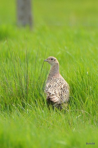 Pheasant [F] - Home Farm Marsh, Fremington 12-05-2016 13-50-57