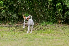 Funny Young Parson Russell Terrier Dog Jumping Und Running (kalypsoworldphotography) Tags: portrait dog sun playing public closeup female forest training ball pose fun outdoors freedom athletic jumping movement dynamic action outdoor expression air contest meadow adorable competition canine running run scene terrier shorthair tennisball excitement staring quick powerful leap isolated jackrussellterrier sturdy clever active intensity pedigree determination hypnotized agile energetic parsonterrier