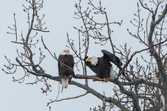 Bald Eagles (greggohanian) Tags: bald eagles raptors mysticlakes