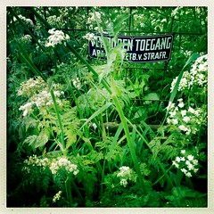 No trespassing (pienw) Tags: fence cowparsley hff anthriscussylvestris fluitenkruid forbiddenaccess