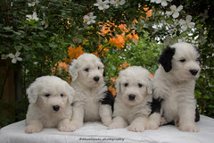 Bailey, Molly, Woezel, Thommy (dewollewei) Tags: old flowers cute english dogs puppy puppies sheepdog adorable pup bobtail oes oldenglishsheepdog oldenglishsheepdogs wickedwisdom dewollewei dogquots wickedwisdoms