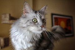 maine coon (peo pea) Tags: cats maine noel coon felino gatto