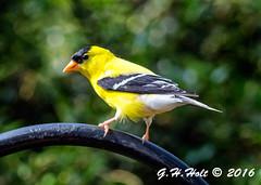 Gold Finch 5-26-2016 1 (G. H. Holt Photography) Tags: bird birds yellow golden northcarolina finch danielstowebotanicalgardens dsbg ghholt