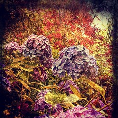 Hydrangea Synaesthesia (Cold Spell Ahead) Tags: flowers overlay hydrangea abstraction psychedelic floralabstraction
