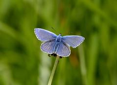 Common Blue------ Polyommatus icarus (creaturesnapper) Tags: uk europe butterflies lepidoptera commonblue polyommatusicarus lycaenidae
