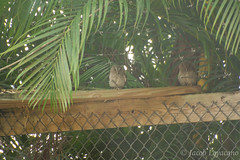 Screech Owelets (JLoyacano) Tags: florida wildlife jacob owl sanctuary screech mccarthys owelet loyacano