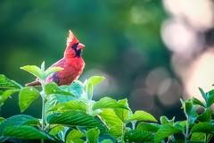 Redbird (uofmtiger) Tags: redbird cardinal backyard canon