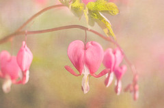A bleeding heart. (BirgittaSjostedt) Tags: plant flower texture nature beauty soft heart pastel bleedingheart highkey ie lamprocapnos magicunicornverybest asianbleedingheart birgittasjostedt