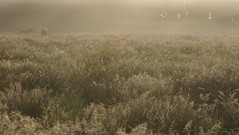 Sonnenaufgang in der Ossenvenne; Norderstapel, Stapelholm (14) (Chironius) Tags: stapelholm norderstapel schleswigholstein deutschland germany allemagne alemania germania    ogie pomie szlezwigholsztyn niemcy pomienie morgendmmerung sonnenaufgang morgengrauen  morgen morning dawn sunrise matin aube mattina alba ochtend dageraad zonsopgang   amanecer morgens dmmerung nebel fog brouillard niebla