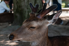 Nara deer (TheSpaceWalker) Tags: japan photography photo nikon pic deer 1750 nara tamron d300 thespacewalker