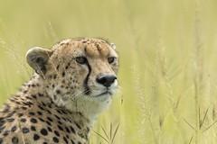 cheetah (charlesgyoung) Tags: africa tanzania nikon safari serengetinationalpark wildlifephotography charlesyoung d810 nikonfx nomadtanzania karineaignerphotographyexpedition