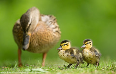 Ducklings (Alastair Marsh Photography) Tags: mallard mallardduck mallardduckling mallardducklings mallards mallardducks duck ducks duckling ducklings baby babybird babybirds bird birds water waterbird feathers feather britishwildlife britishanimals britishanimal britishbirds britishbird animal animals wildlife