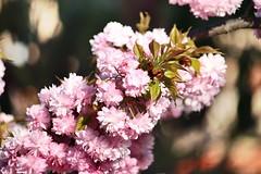 Soria_0188 (Joanbrebo) Tags: park flowers parque espaa flores fleur spain blossom blumen fiori soria parc flors autofocus castillaylen alamedadecervantes efs18135mmf3556is canoneos70d