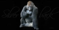 The Silverback (Mel's Looking Glass) Tags: portrait animal mammal gorilla ape primate silverback