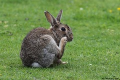 Rabbit (AMKs_Photos) Tags: sea canon photography eos scotland edinburgh forth 7d firth queensferry amk amksphotos