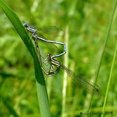 White-legged damselflies mating (LPJC) Tags: uk stamford rutland damselfly 2016 whitelegged lpjc