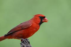 Mr Cardinal-41955.jpg (Mully410 * Images) Tags: stump birding cardinal northerncardinal bird birds green birch birdwatching