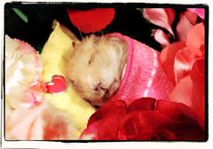 ♥ TOFINKA ♥ ~ 11th October 2014 - 2nd June 2016 (pyza*) Tags: pet girl animal angel hamster xxx goodbye hammie tofi chomik playinpeace tofinka