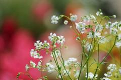 カスミソウ/ Gypsophila muralis (nobuflickr) Tags: flower nature japan kyoto 日本 花 thekyotobotanicalgarden gypsophilamuralis 京都府立植物園 カスミソウ awesomeblossoms ナデシコ科ギプソフィラ属 20160522dsc09991