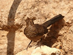 Aves del Mediterrneo (8) (calafellvalo) Tags: birds pen feathers aves pjaros fowl vgel oiseaux plumas geflgel volaille gefieder calafellvalo