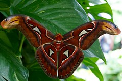 Attacus atlas -  Atlas moth (fxdx) Tags: atlas moth attacus nex6 mainau