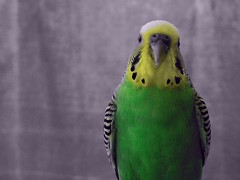 Theo (Reinley) Tags: green birds yellow coloring parakeets selective