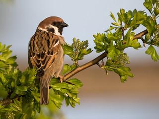 Sparrow in Evening Light [Explored 2016-07-20] - Spatz im Abendlicht (Joe)