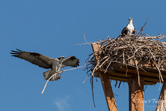 Male Osprey delivers nest building material