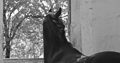 Daiquiry (SoniaShari) Tags: bw horse cheval nikon nb sw pferd d3200