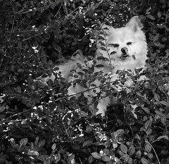 (Cherry_sunshine) Tags: camping blackandwhite bw dog baby flower cute dogs nature leaves america puppy outdoors pom woods puppies scenery blonde pup mixedbreed pomeranians pomchi cutestdogs smallbreeddogs