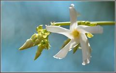Backlit Jasmine (tdlucas5000) Tags: flower macro star bokeh jasmine backlit blooms creamy nightblooming