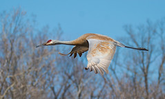 Sandhill Crane In-flight - Kensington Metropark-3840 (C E Andersen) Tags: nature birds wildlife kensington sandhillcrane bif kensingtonmetropark sandhillcraneinflight