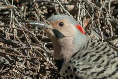 Flicker (KWPashuk) Tags: bird woodpecker nikon d200 flicker tamron150600mm kwpashuk kevinpashuk