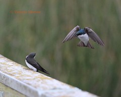Tree swallows, one flying, one yelling (Victoria Morrow) Tags: