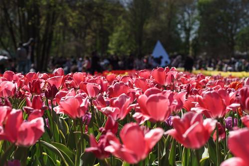 Fête des tulipes 2015 ©M.Rondel