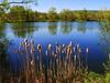 the cotton buds (mujepa) Tags: france spring pond qtips lorraine printemps cottonbuds étang bulrushes joncs jouylesarches cotonstiges
