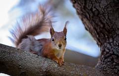 ATA_9535 (Photographer Atacan Ergin) Tags: squirrel orava kurre