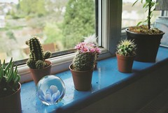 Flowering cacti (felixxalexander) Tags: flowers cactus plants flower film cacti windowsill houseplants indoorplants pinkflowers filmphotography floweringcactus
