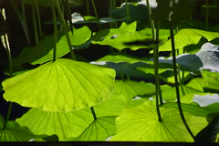 DSC_0546 (Omar Wang) Tags: leaf image lotus inverted
