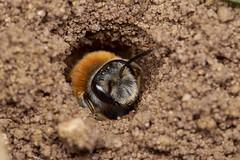 mining bee, Andrena female, Shawbury Heath (David_W_1971) Tags: beea dcr250 raynox sig2016