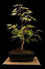 17/52 Japanes Maple Bonsai (Stew451) Tags: sb600 1752 52weeks japanesemaplebonsai su800 1685mm d7000 sb910