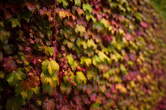 Vines (_Bernie_) Tags: autumn vines colours melbourne changing transition d610 leavesfoliage sigma24mmf14dghsmart