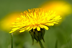 Spring Sunrise (Crux_VII) Tags: yellow dandelion